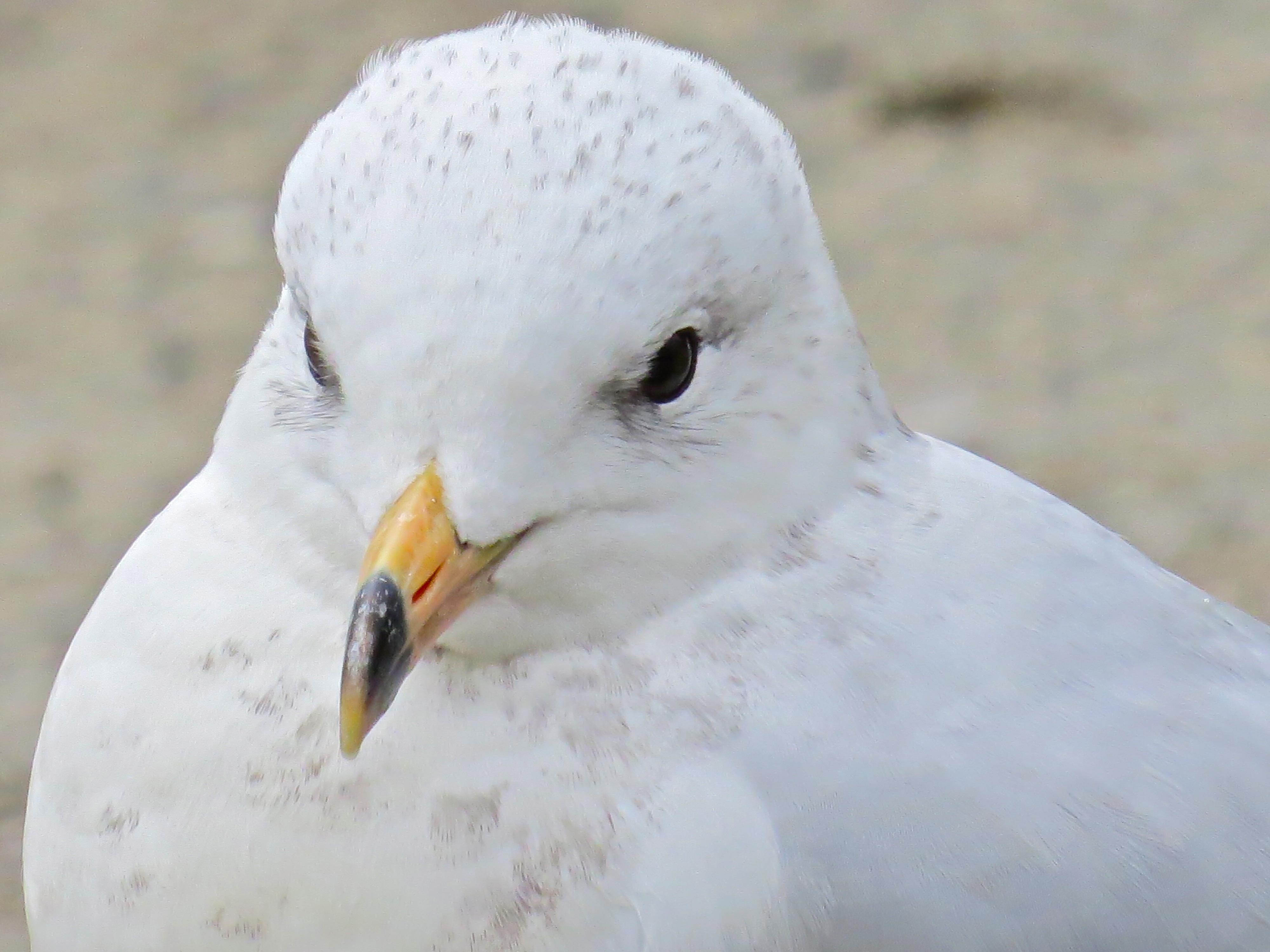 Ring-billed Gull first full summer