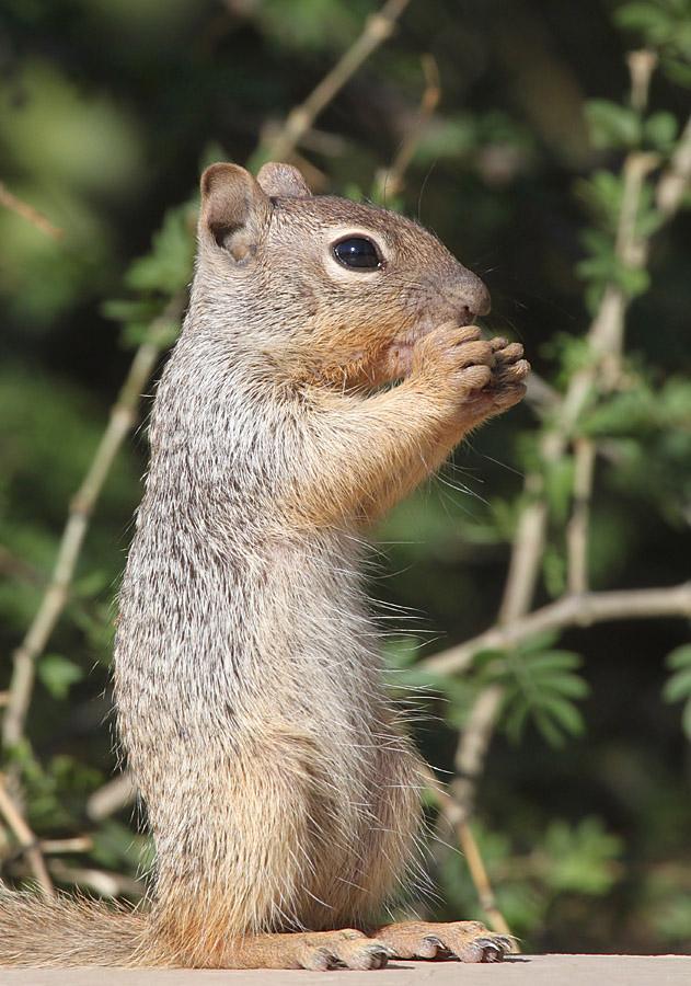 Rock Squirrel_5-19-13_DBG_8199