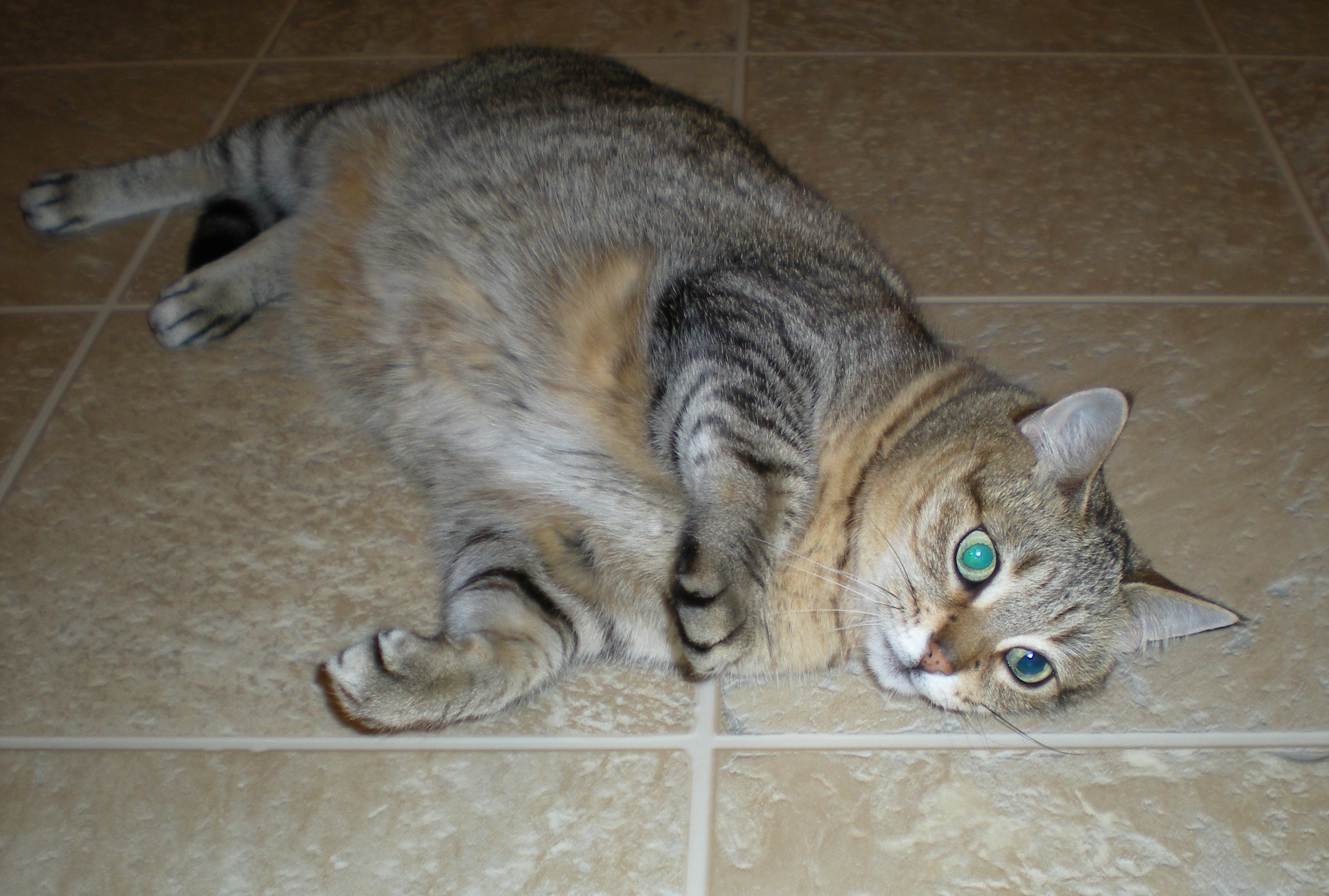 Peyton after catnip, National Cat Day 2014.