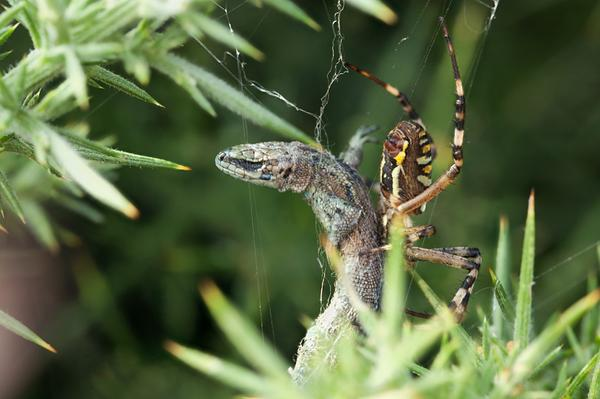 Wasp spider (Argiope brunnichi) with common lizard (Lacerta vivipara) in Cheshire, UK, from Phil @Goldenorfephoto.