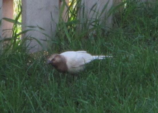 albinistic bird 1