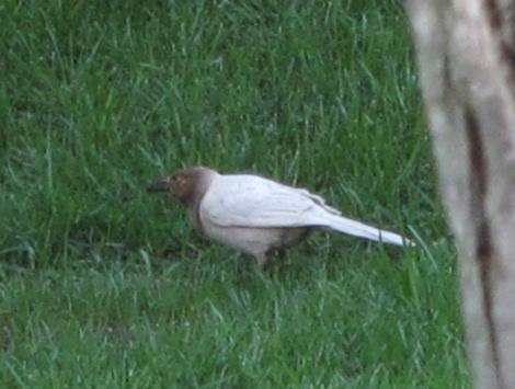 albinistic bird 3