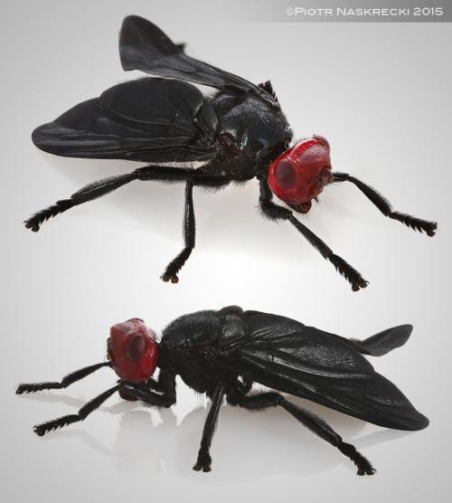 bromophila
