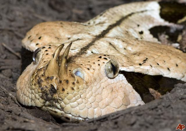 gaboon-viper-2009-9-10-19-41-38