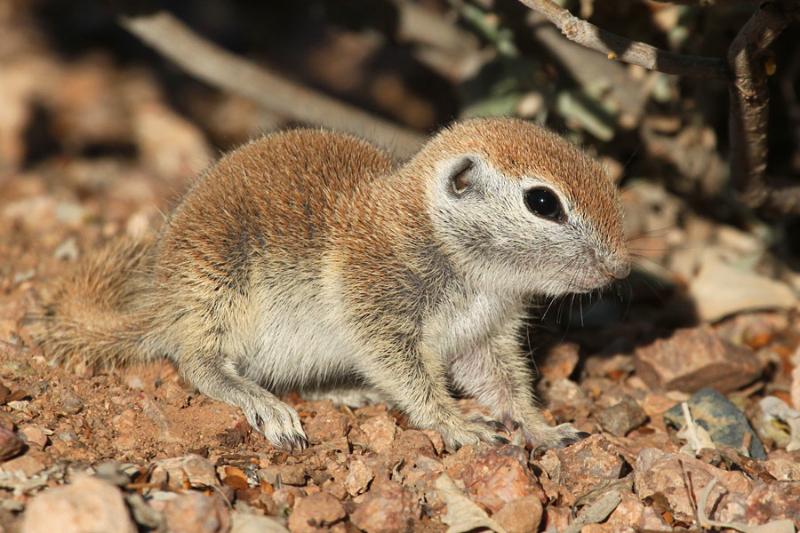 R-t Ground Squirrel_5-10-15_DBG_3709