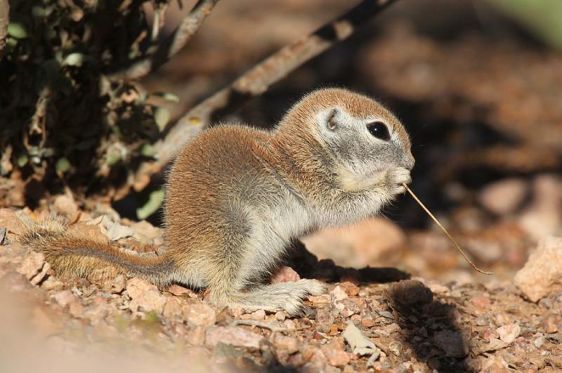 R-t Ground Squirrel_5-10-15_DBG_3776