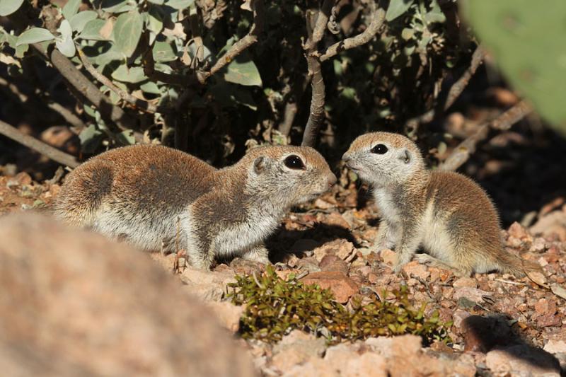 R-t Ground Squirrel_5-10-15_DBG_3802