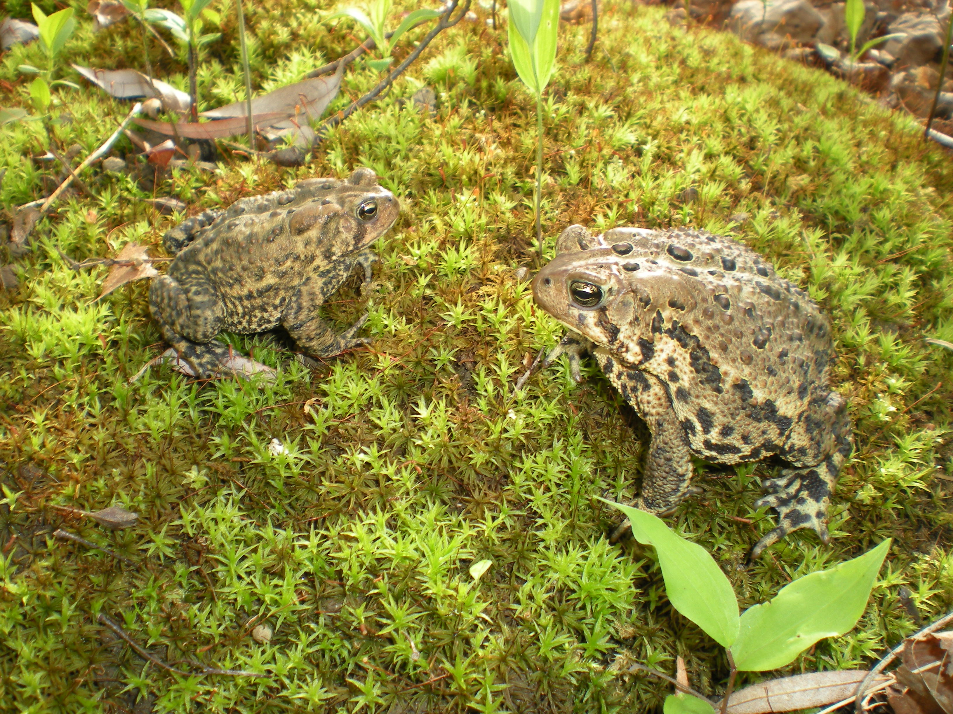 American toads, Greenquist Woods, UW-Parkside, Kenosha, WI.