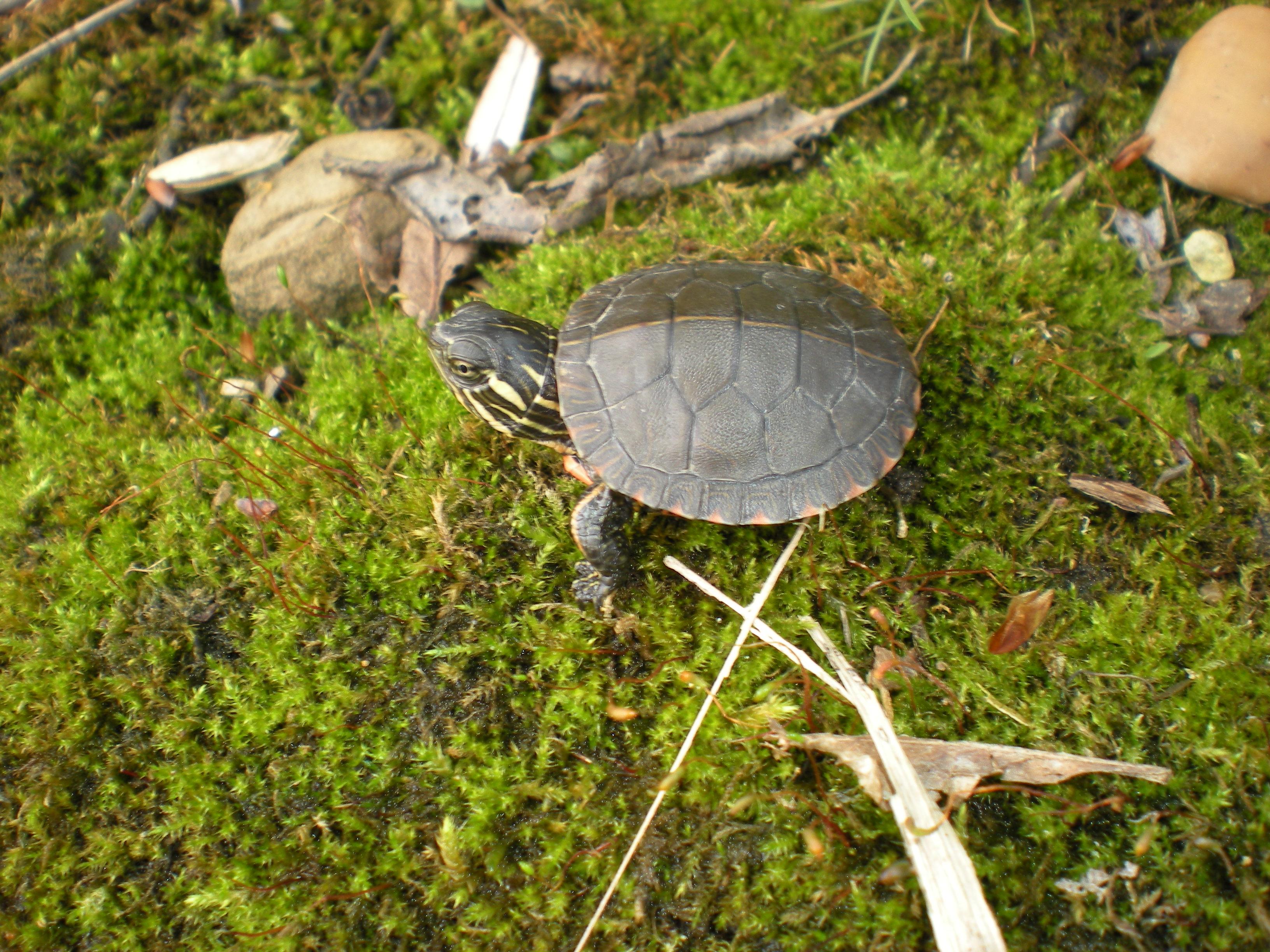 Chrysemys picta marginata, UW-Parkside, Kenosha, WI, 6 May 2015.