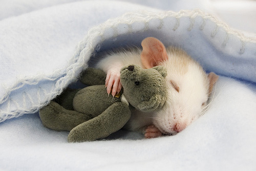 Sleeping-Rat-1