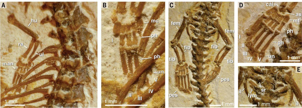 T. amplectus appendicular morphology. Fig. 4 from Martill et al. (2015). (A) Forelimb. (B) Manus. (C) Hindlimbs and pelvis. (D) Pes. (E) Pelvis. Abbreviations: fem, femur; fib, fibula; hu, humerus; il, ilium; lym, lymphapophysis; man, manus; mc, metacarpal; mt, metatarsals; ph, phalanges; ra, radius; sr, sacral rib; tib, tibia; ul, ulna; un, ungual.