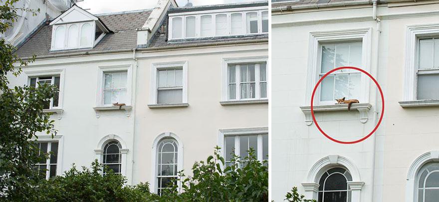 sleeping-fox-window-ledge-notting-hill-1