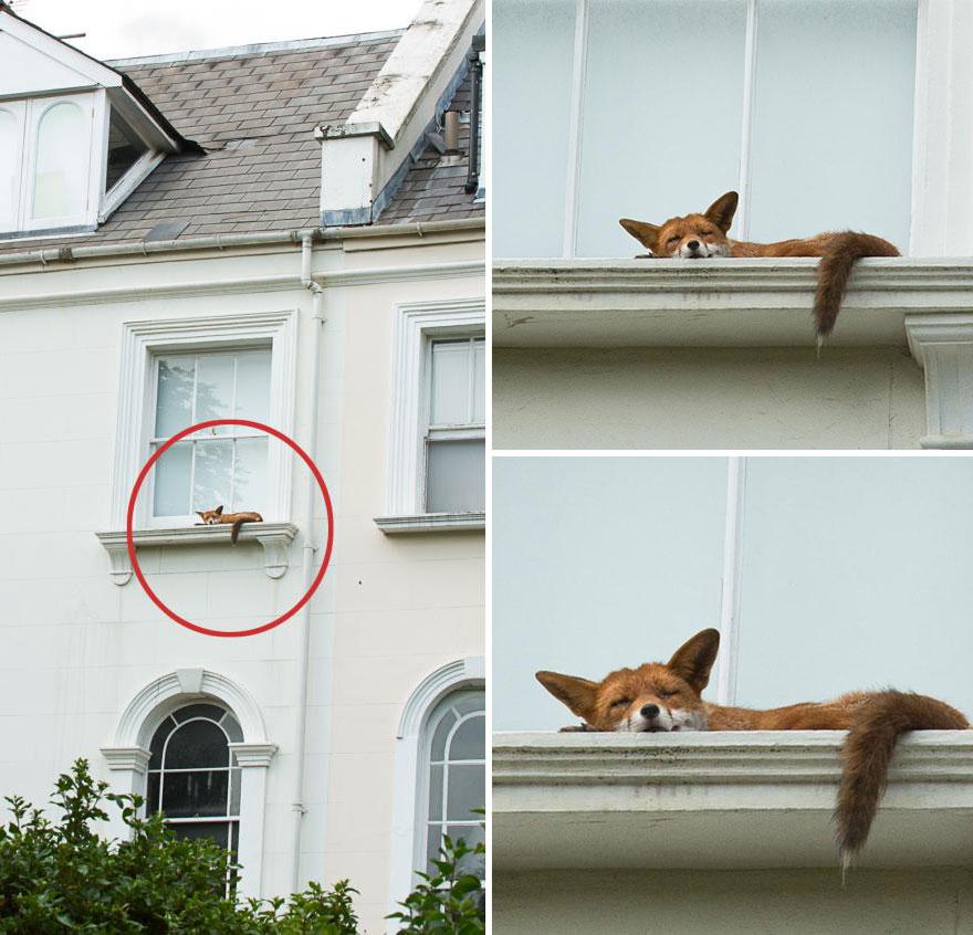sleeping-fox-window-ledge-notting-hill-3