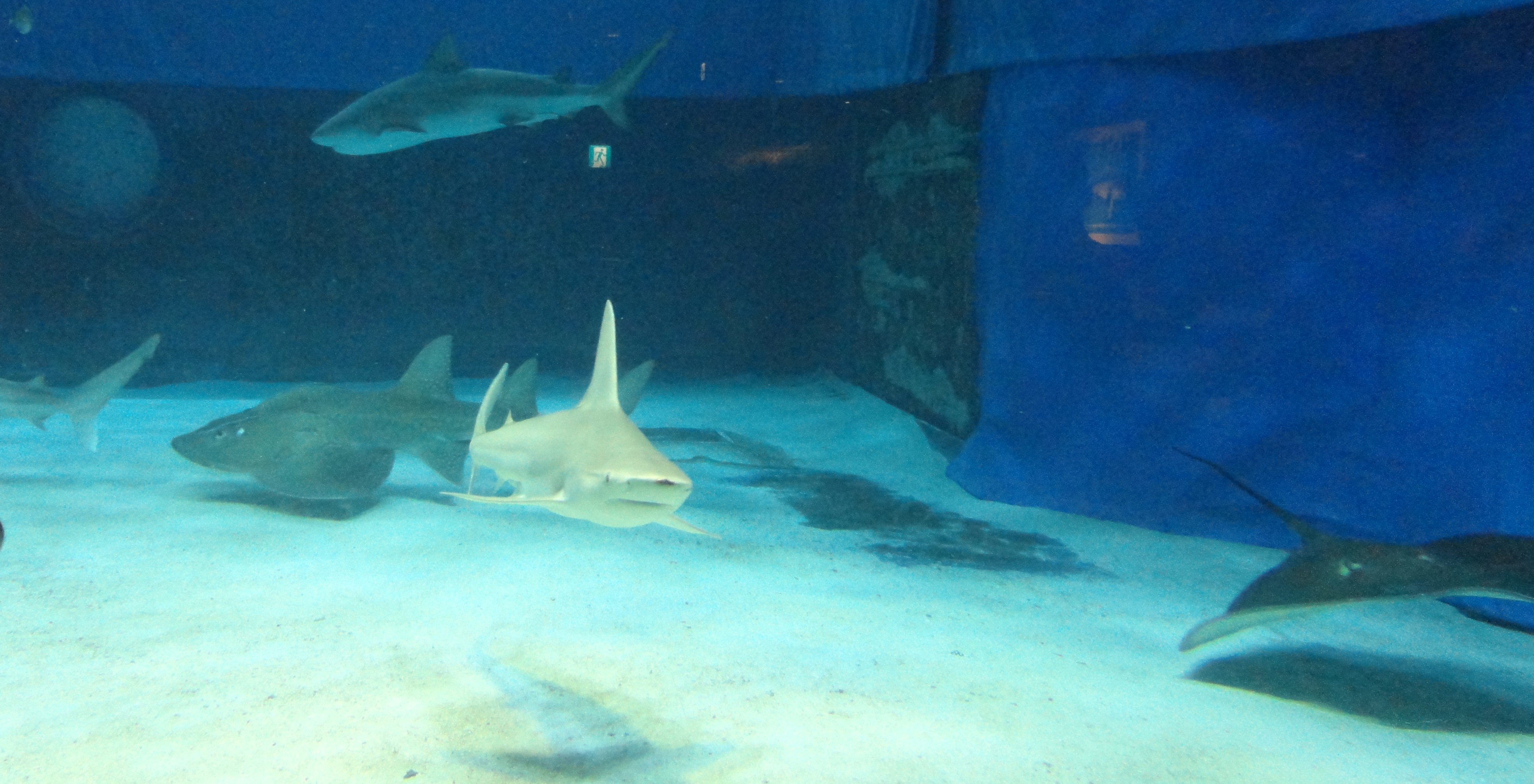 A guitarfish with three sharks (one only a tail), a typical ray, and a menacing black hulk).