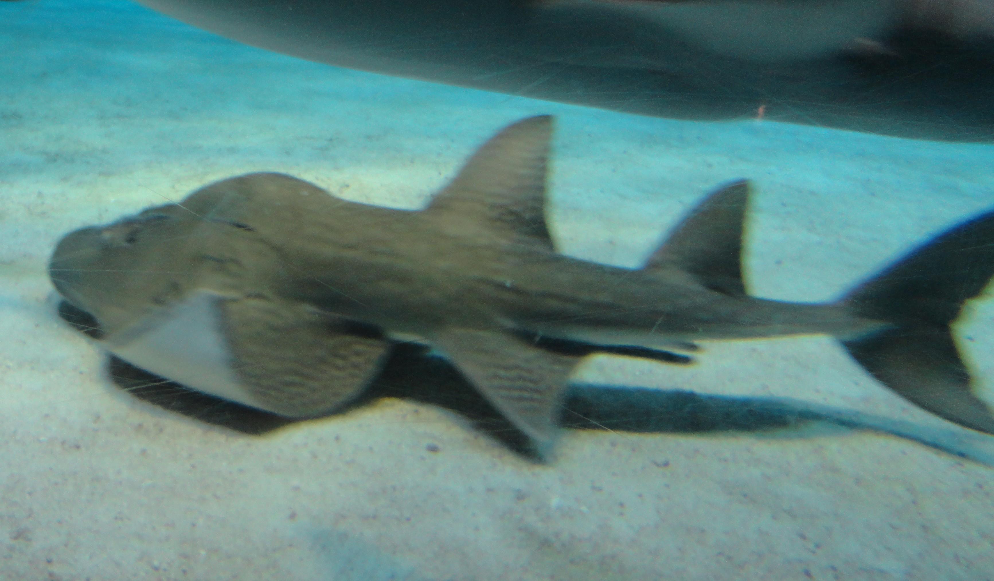 A guitarfish swimming along the bottom.