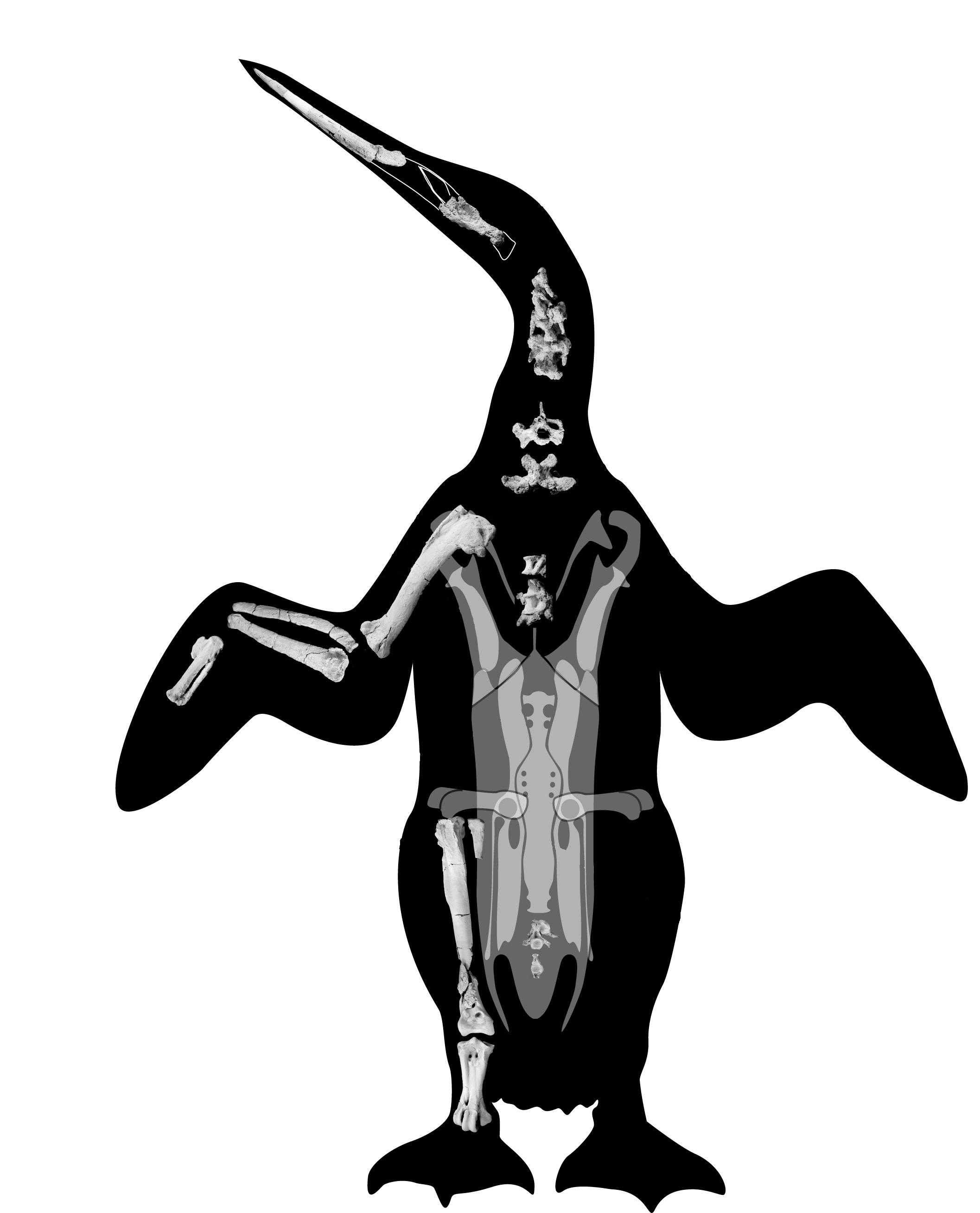 Composite skeleton of Waimanu tuatahi from Slack et al. (2006), via March of the Penguins.