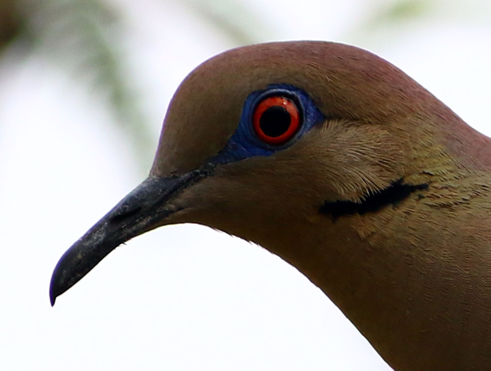 white winged dove face Sabino Canyon 12MAY2015 A_1600px