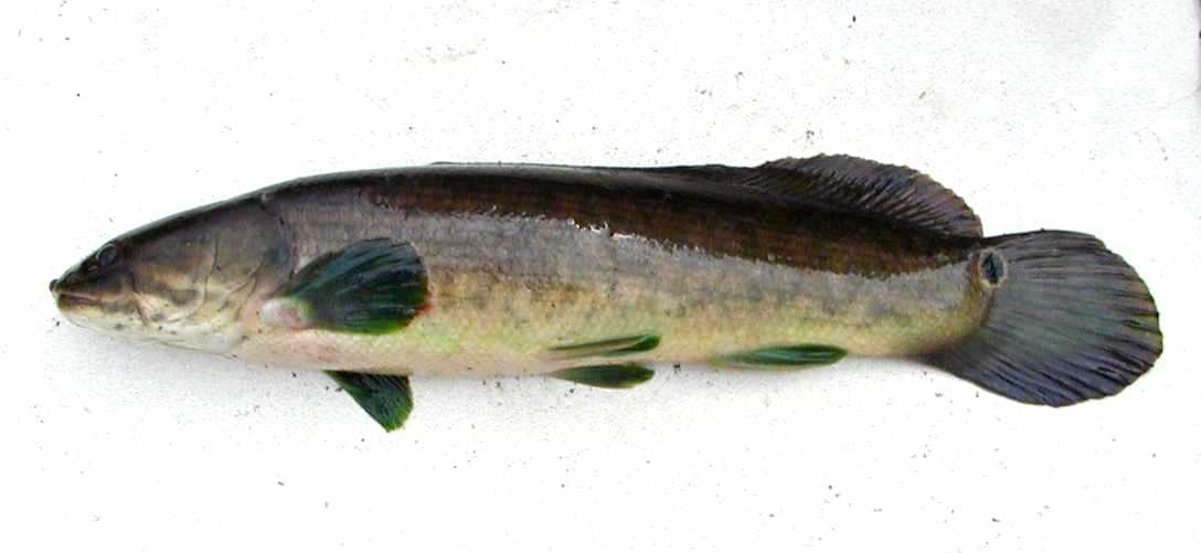 A bowfin (Amia calva)-- note the paired pelviv fins well back on the body. (the posteriormost ventral fin is the unpairedanal fin. From nicholls.edu