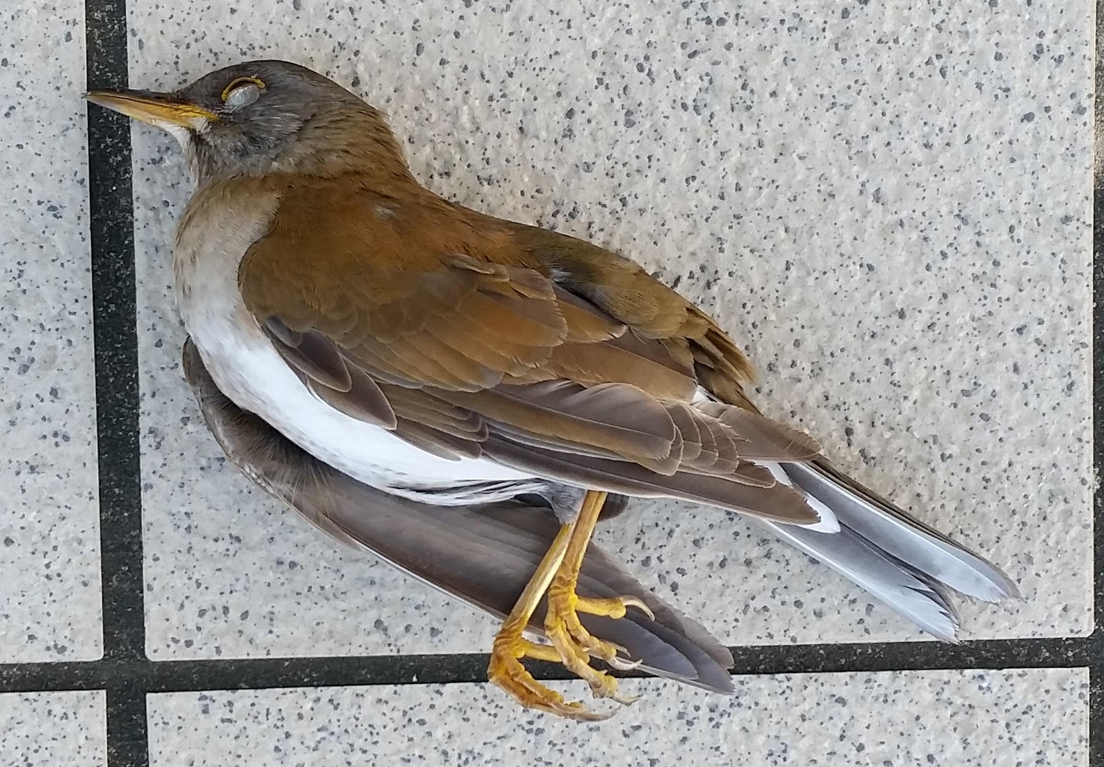 Window-killed thrush, Okinawa, Japan, 8 March 2016.