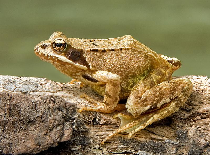 The Common Frog (Rana temporaria), near Bad Kohlgrub, Bavaria. Photo by Richard Bartz (Wikimedia).