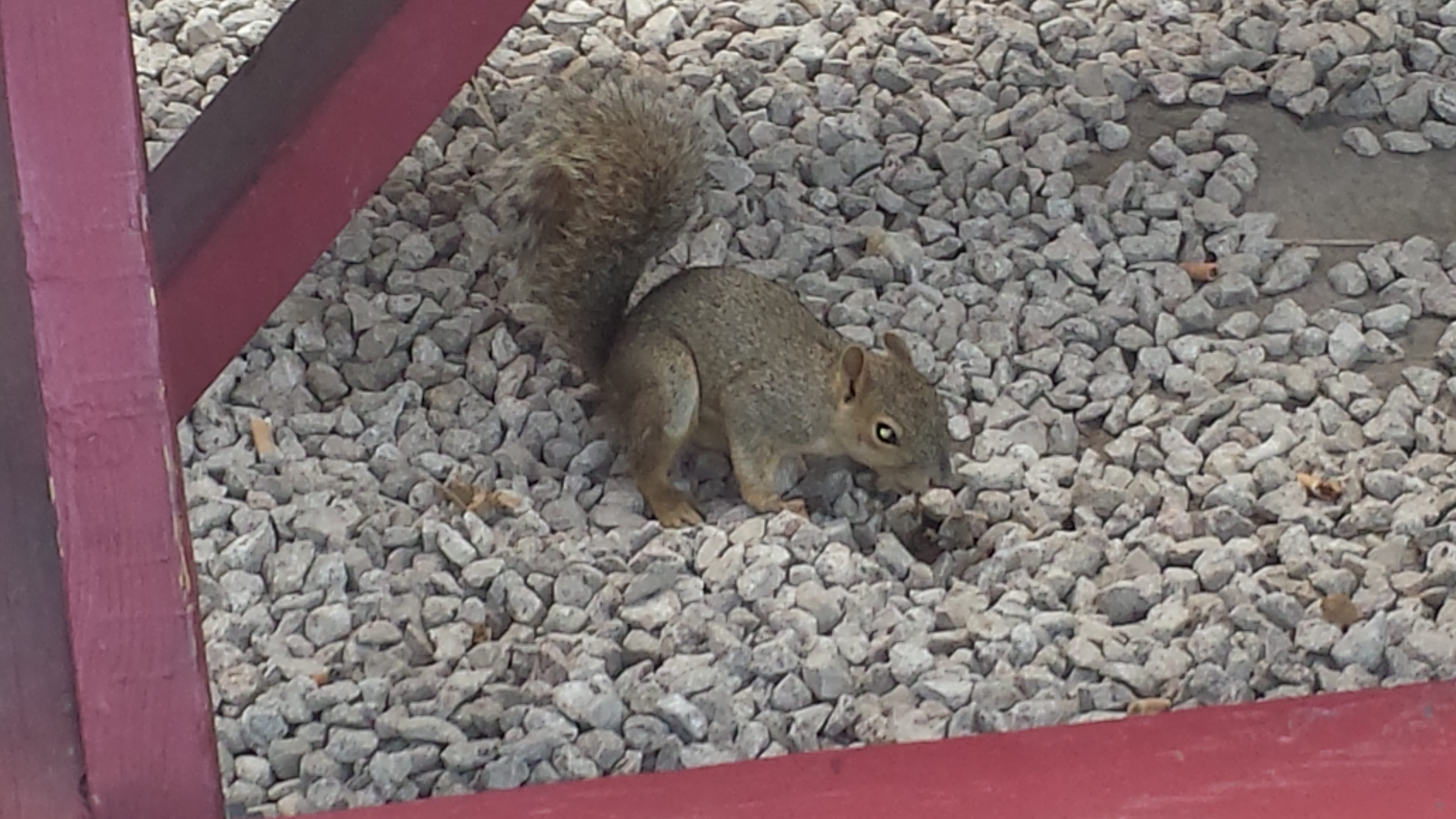 Eastern gray squirrel on Rainey Street, Austin, Texas, 19 June 2016.