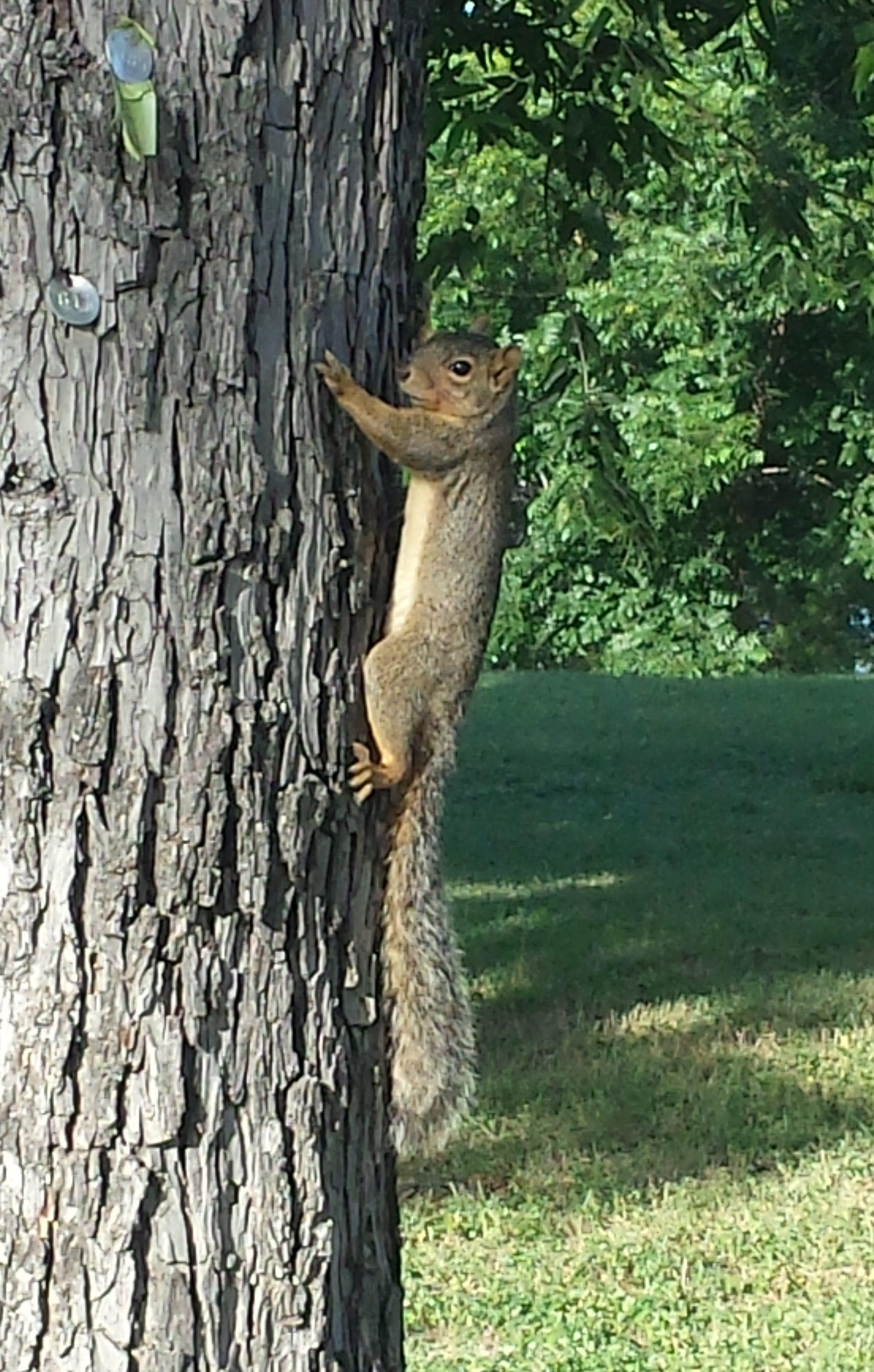 Eastern gray squirrel,Austin, Texas, 21 June 2016.