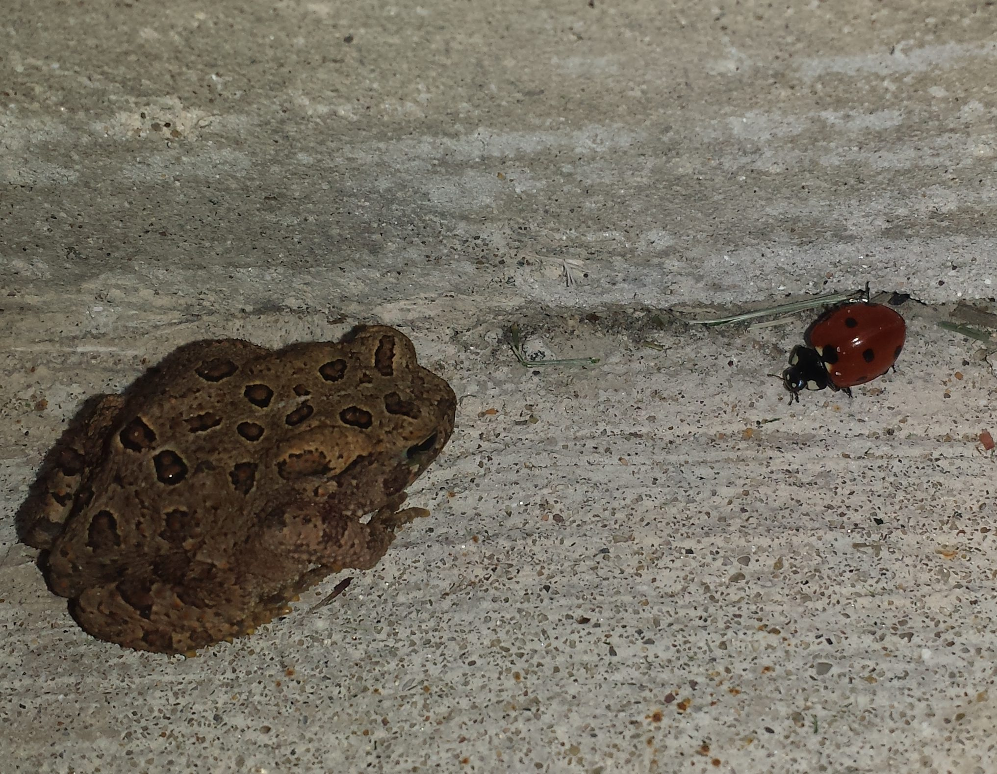 American Toad with ladybug in stairwell, University of Wisconsin-Parkside, Somers, Wisconsin,16 August 2016.