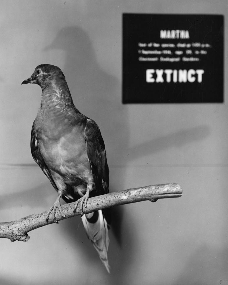 Martha,_a_Passenger_Pigeon