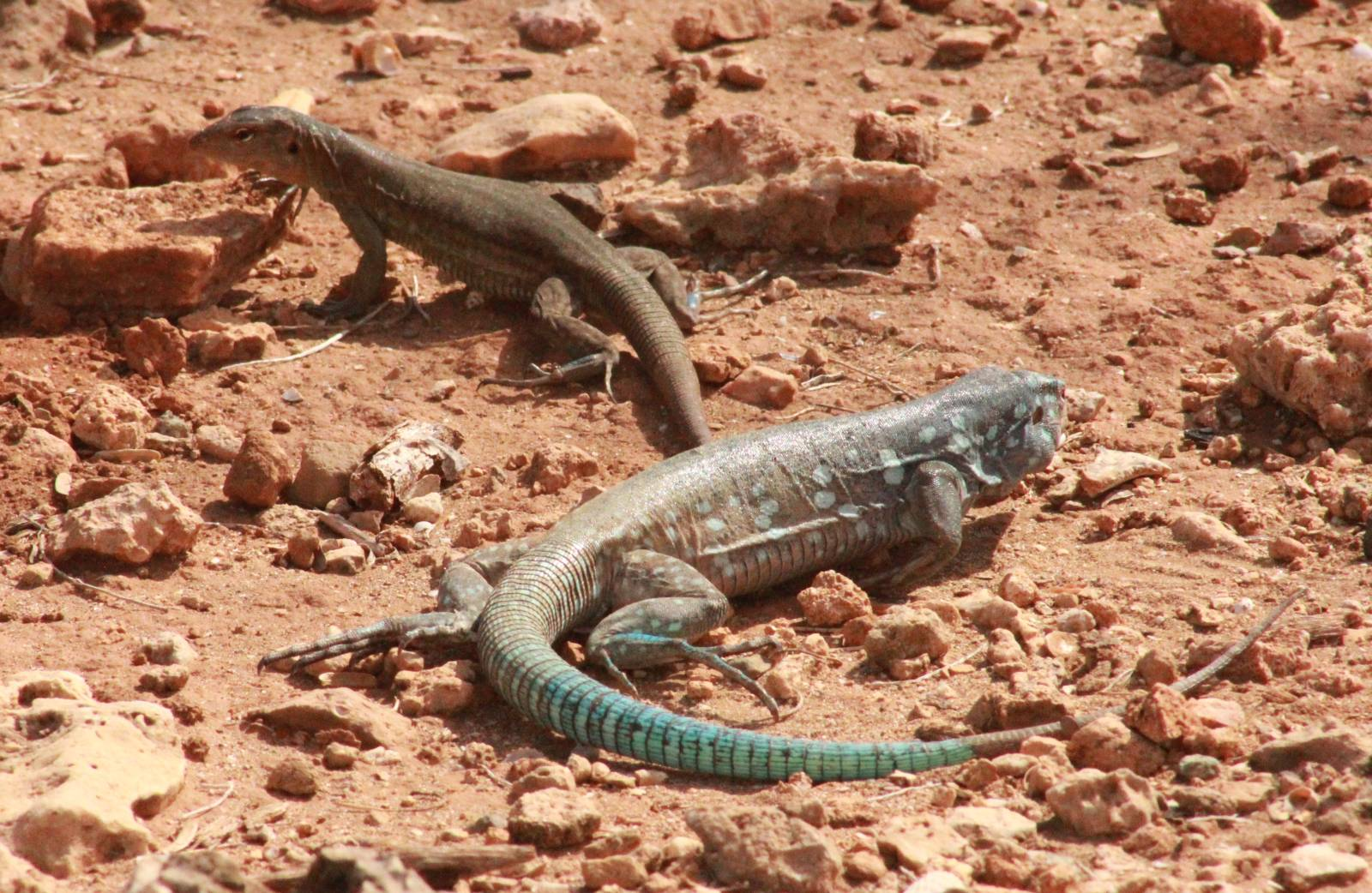 136-img_3373-bonaire-whiptail-lizard