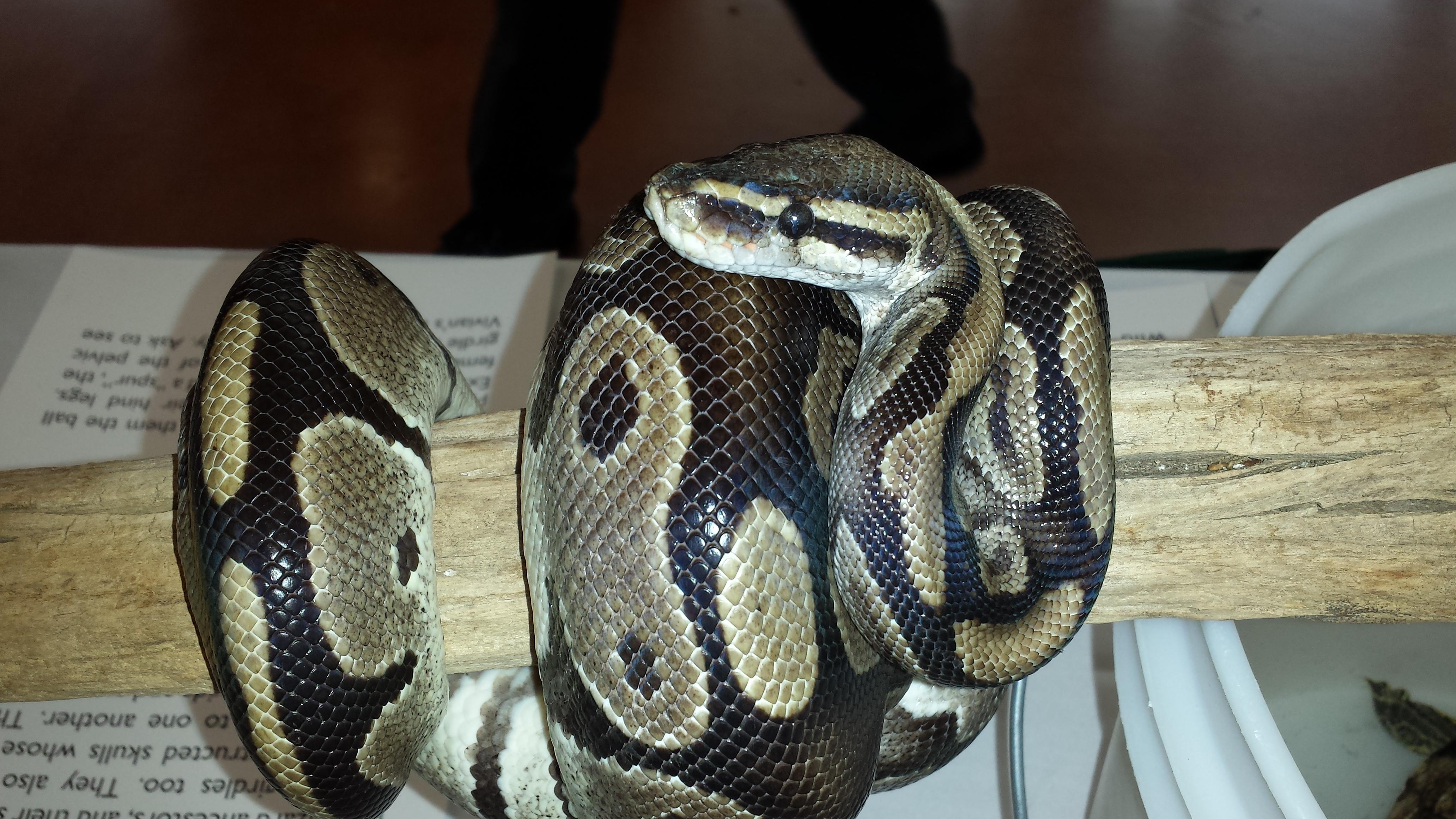 Ball python (Python regius), captive, at alumni event at UW-Prakside, September, 2016.