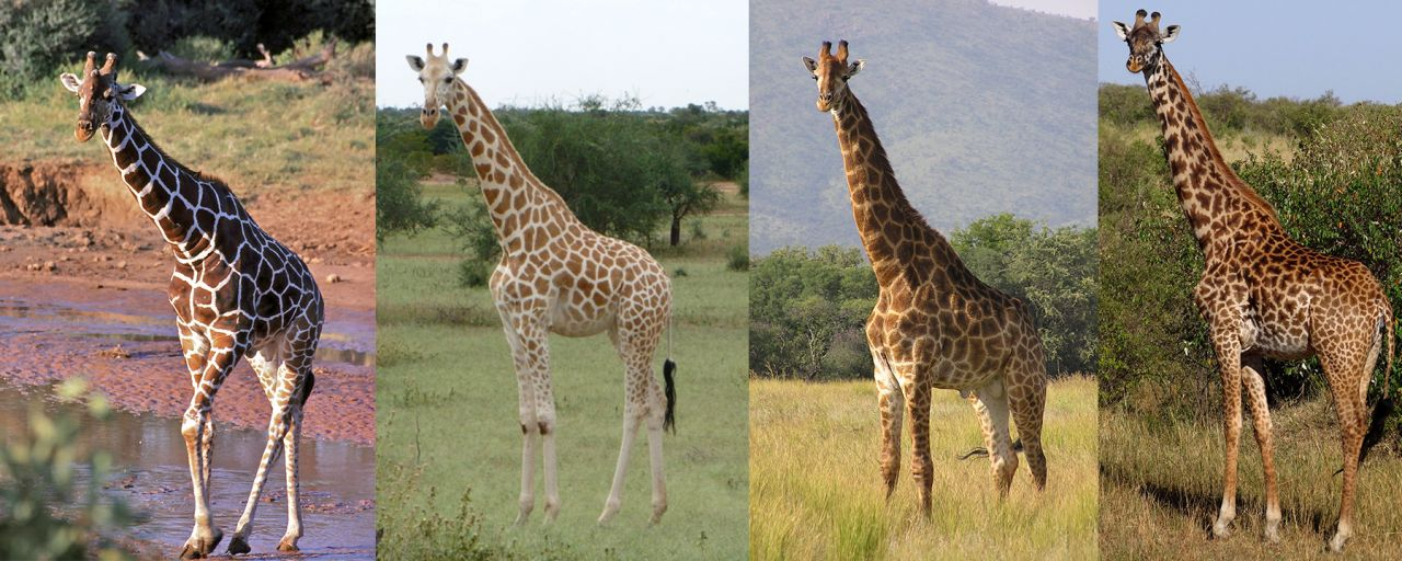 giraffe_collage_1-1280x512