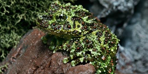 vietnamese_mossy_frog2